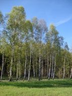 distant view of birch forest in spring