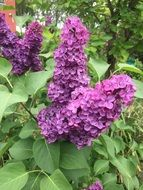 Purple Lilac in Summer Green