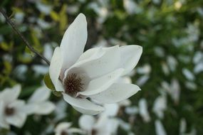 white magnolia is an decorative plant