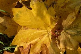 yellow fallen maple leaves