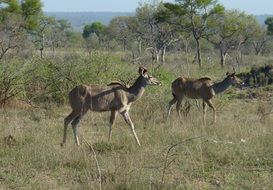 antelopes in south africa