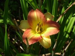 Yellow Daylily Hemerocallis macro