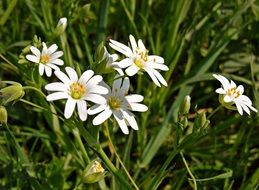 white daisies among green grass