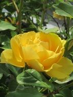 large yellow rose bud in the summer garden