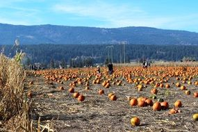 Pumpkins Field Harvest
