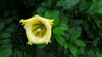 Yellow Tropical garden Flower