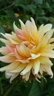Yellow and pink Dahlia blossom