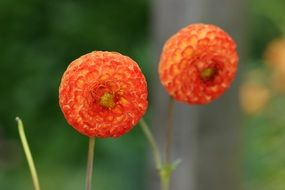 two spherical orange flowers close-up