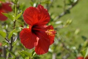 red hibiscus on a bush on a sunny day