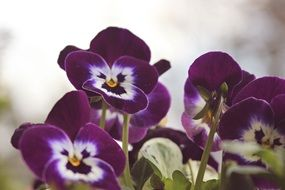 Violet, pansy flowers close up