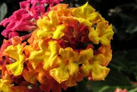 Beautiful blossoming lantana flowers