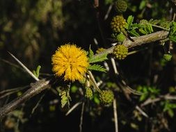 yellow flowering of a sweet acacia