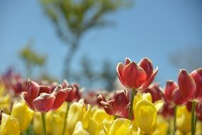 glade of colorful tulips under the bright sun