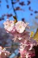 pale pink flowering branch of Japanese cherry