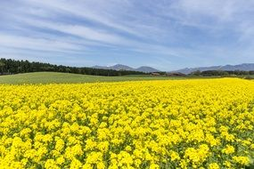 canola field under clear sky