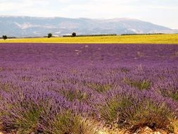 Lavenders in the provence