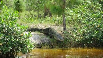 Alligator near river in Florida scene