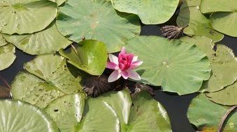 lonely lotus flower in the pond