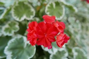 geranium, Red Flowers above green and white leaves