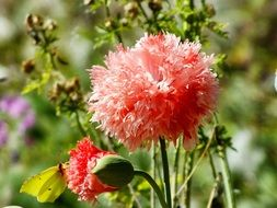 fluffy red flowers
