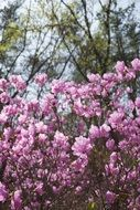 azalea is a flower tree