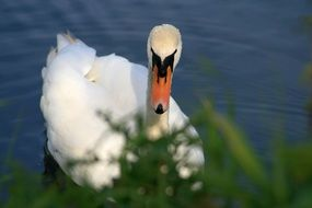 white Swan on Water at grass