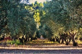 Tree Olives Orchard