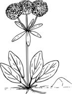 black and white graphic image of a wild plant with three spherical inflorescences