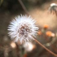 dandelion Flower Plant with fluffy Seeds