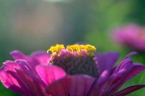 purple zinnia in bright sunlight
