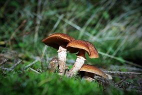 brown poisonous mushrooms in the forest