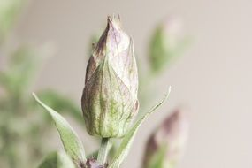 closed sage bud