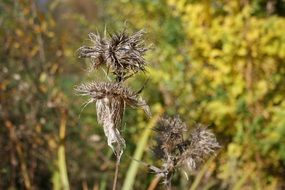 Autumnal Dried thistle
