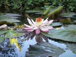 large bud of white-pink lily in a pond