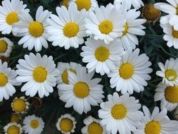 white Flowers Summer Daisies