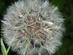 Close-up of the wild dandelion flower