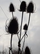 silhouettes of a thistle against a dark sky