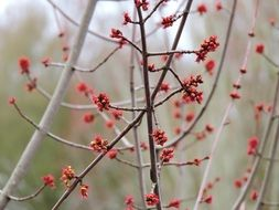 red berries on bare branches