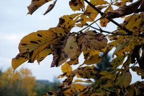 chestnut branches with yellow leaves