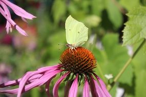 butterfly on a flower of pink echinacea close-up