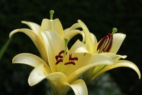 three light yellow lilies close-up