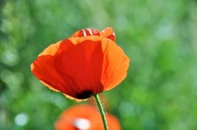 red poppy on a blurry background in bright sun