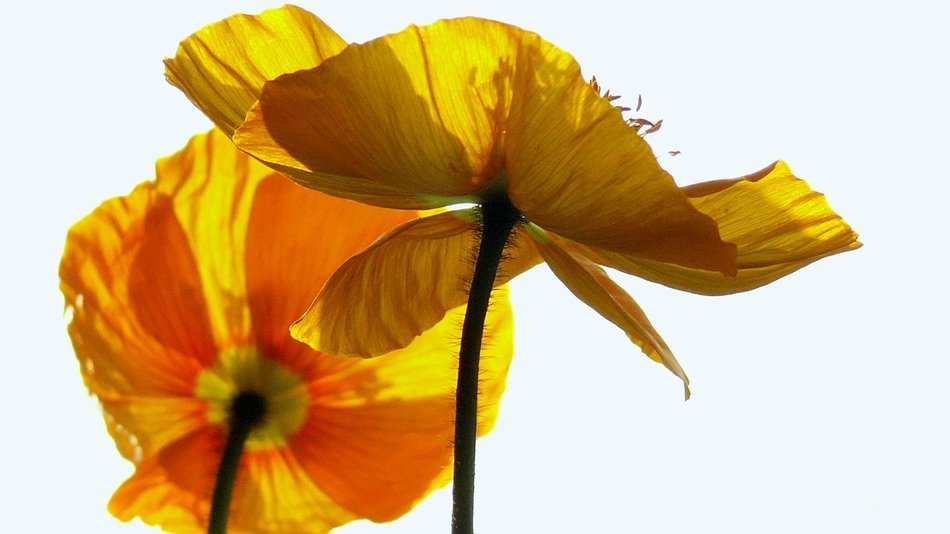 anemone or yellow poppy