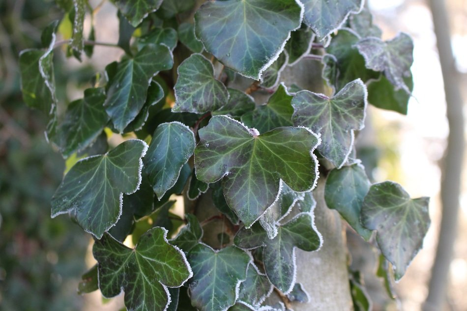 climbing green plant in frost closeup