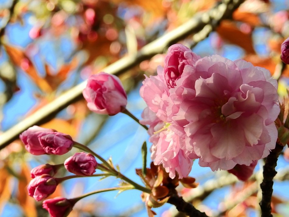flowering of a japanese cherry tree as spring decoration