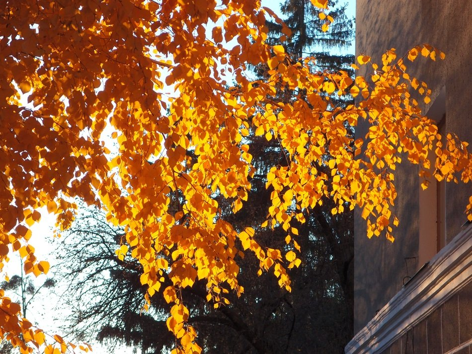tree with bright yellow fall foliage in the sunlight