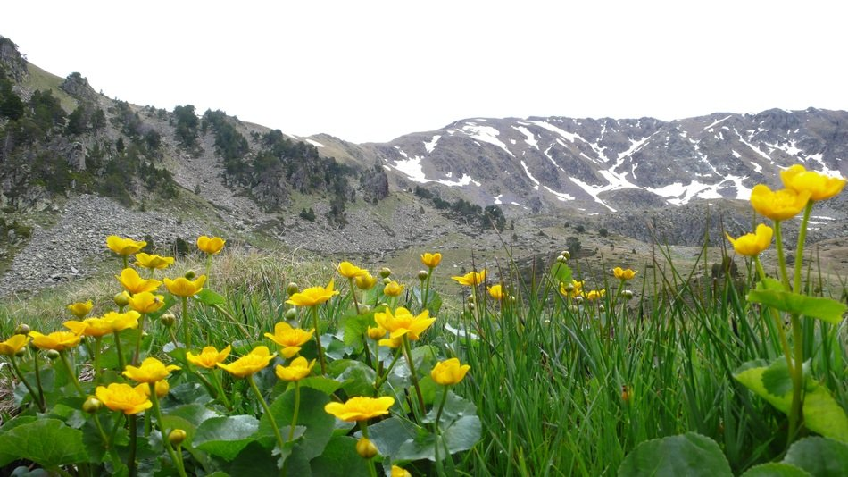 yellow mountain flowers in a green meadow