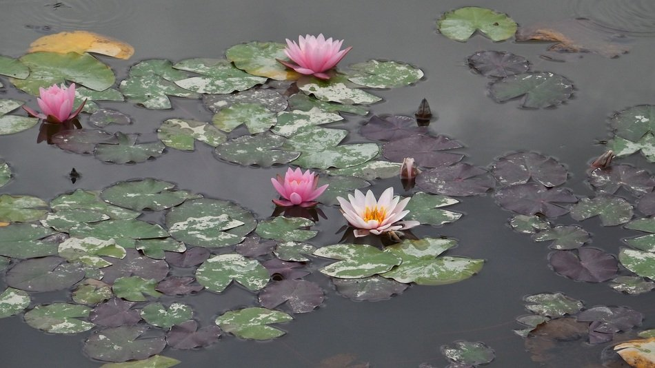Beautiful waterlilies blossom on the water