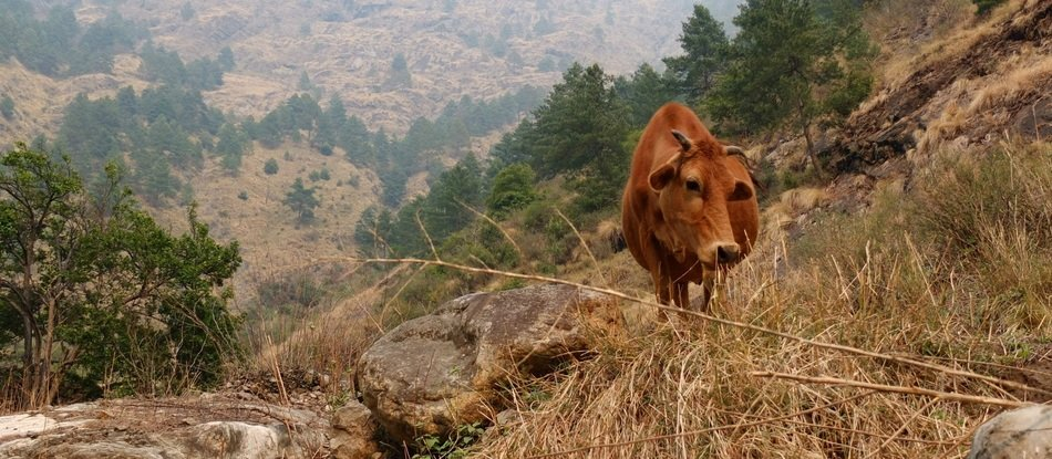 Brown cow among colorful plants in the mountains of Nepal