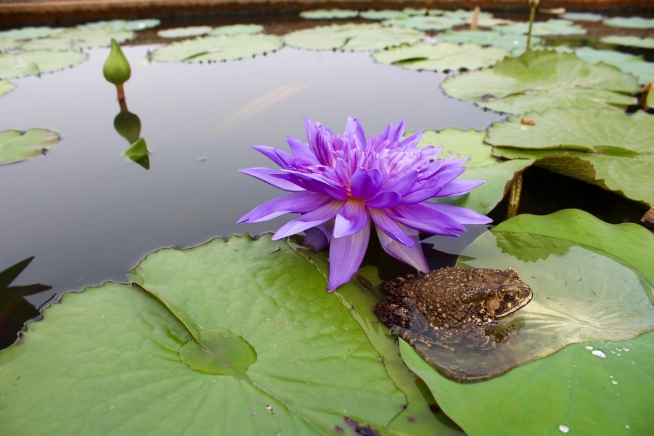 large purple water lily on a pond